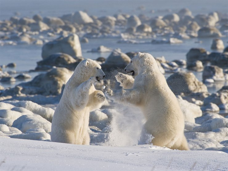 Polar bears sparring. Photo by Dennis Fast.