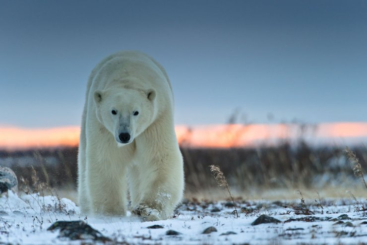 Polar bear walking towards you. Photo by Rudolf Hug.