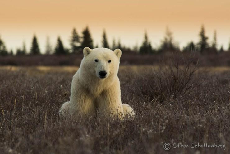 Young polar bear waiting in the willows at Nanuk Polar Bear Lodge. Steve Schellenberg photo.