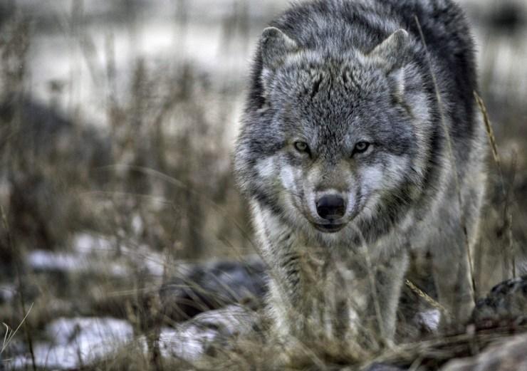 wolfatsealriverlodge1bk