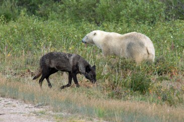 Wolf and polar bear meet at Nanuk Polar Bear Lodge. George Kourounis.