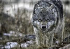 Wolf at Seal River. Robert Potsma.