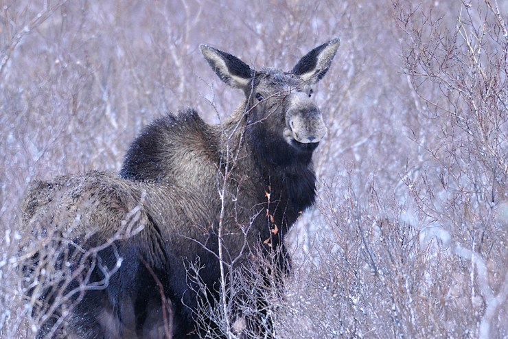 Moose at Nanuk. Ian Johnson photo.