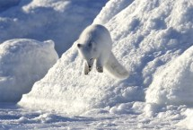 Pounce! Arctic fox at Seal River Heritage Lodge. Andy Skillen photo.