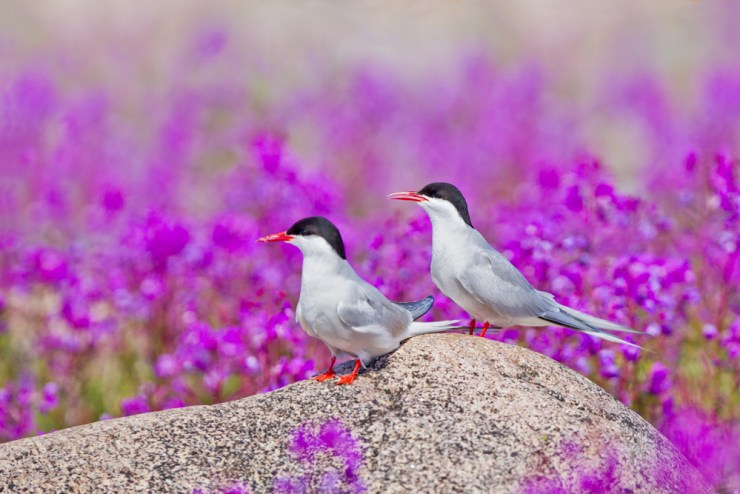 Arctic Terns at Seal River Heritage Lodge. Xie Jianguo photo.