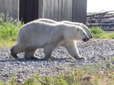 polarbearnearshedatealriver