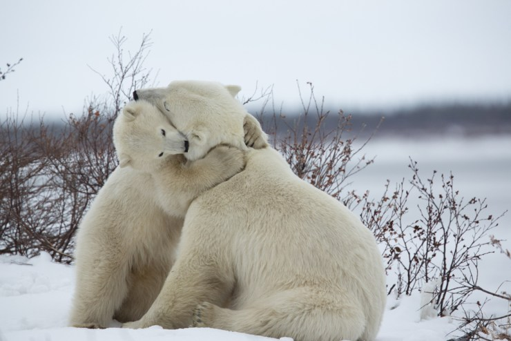 Polar bear Mom gets a hug from her cub at Seal River Heritage Lodge.