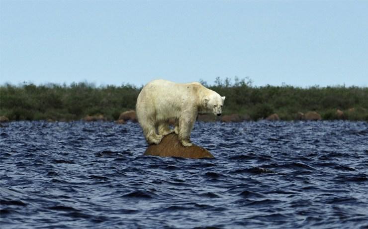 Polar bear hunting beluga whales at Seal River. A waiting game. Quent Plett photo.