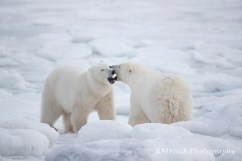 polarbearconversation