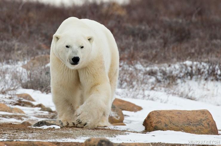 Polar bear walks towards us at Seal River Heritage Lodge.