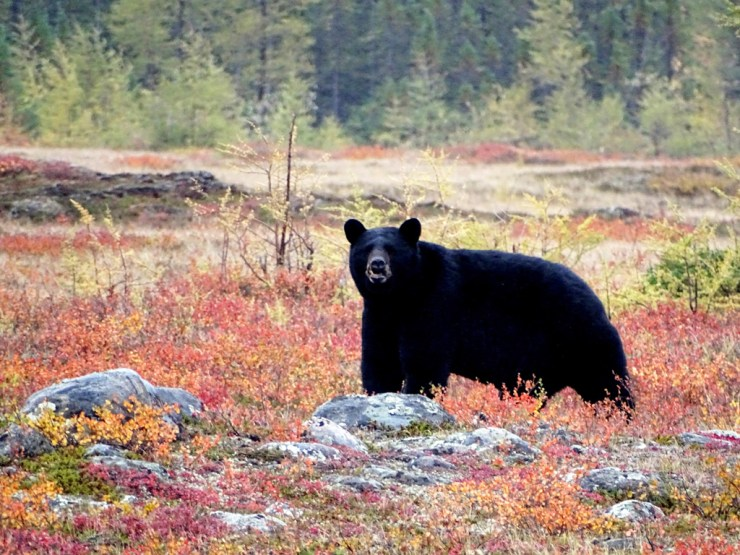 Black bear in fall colours at Schmok Lake. Click image for story.