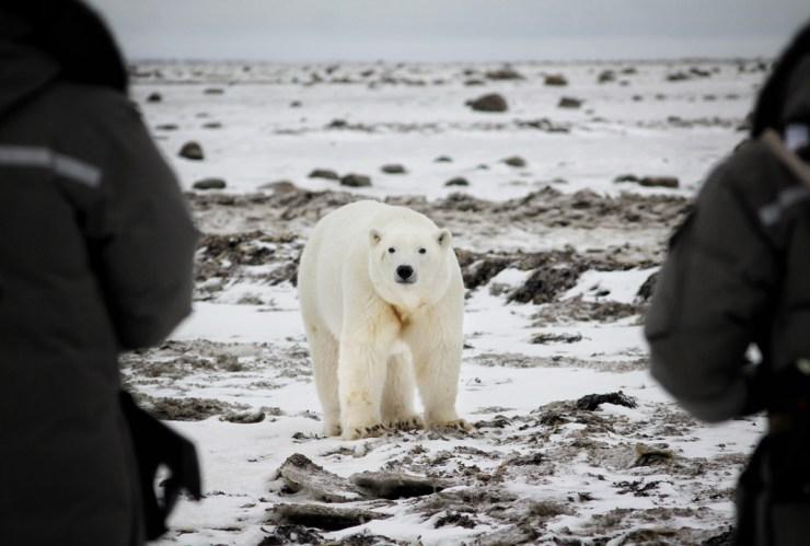 Face-to-face with a polar bear on Hudson Bay. Dax Justin photo.