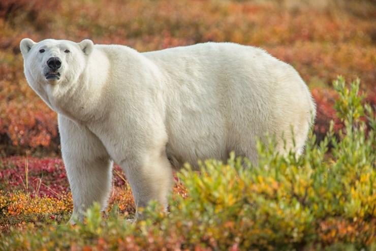 Berry picking polar bear helper. Nanuk Polar Bear Lodge. Robert Postma photo.