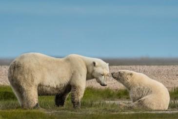 3rd place_Polar Bear_Christie Allen_HBO 2017