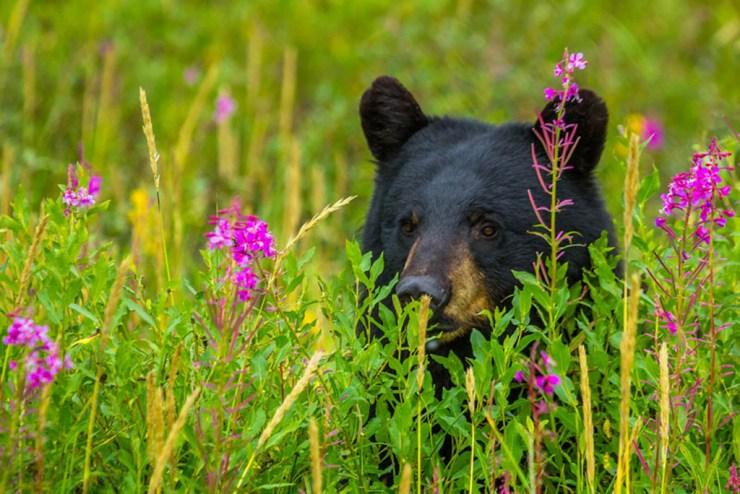 Black bear peeking through the long grass at Nanuk Polar Bear Lodge.
