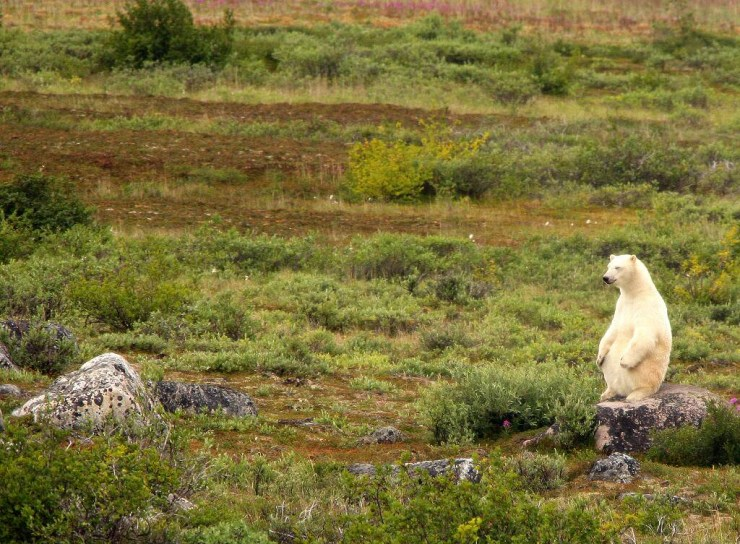 Polar bear after a big meal at Churchill Wild. We feel the same way! Michael Poliza photo.