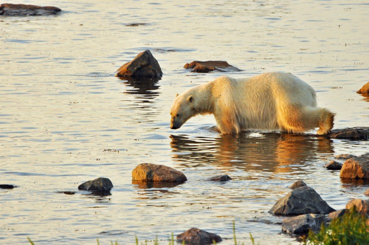 Polar bear cooling off in tidal pool on Birds, Bears and Belugas. Paul Scriver photo.