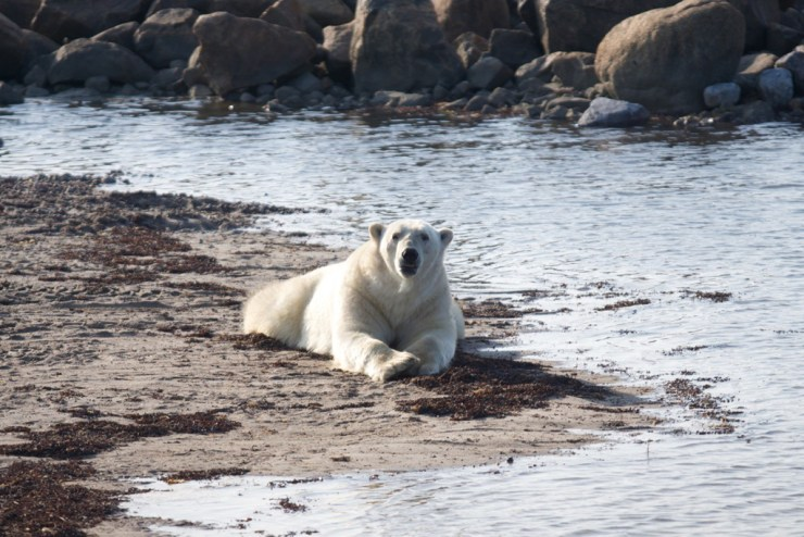 Polar bear relaxing on beach near Seal River Heritage Lodge.