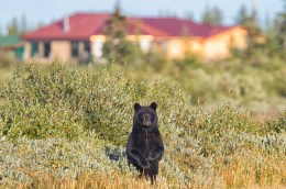 Black bear pops up at Nanuk Polar Bear Lodge.