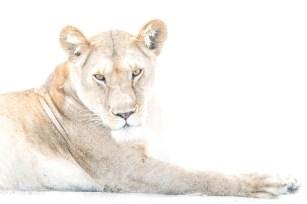 Lioness in white.