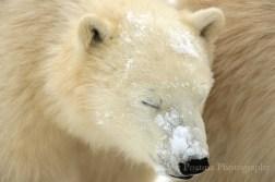 polarbearcub-snowonnose_churchillwild_robertpostma