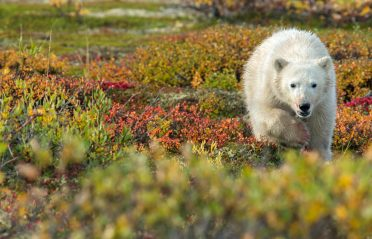 Polar bear cub in fall colours at Seal River Heritage Lodge.