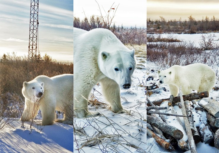 Polar bear photos taken on a smartphone by Dax Justin.