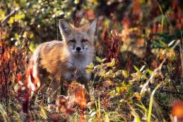 Red fox at Nanuk Polar Bear Lodge.