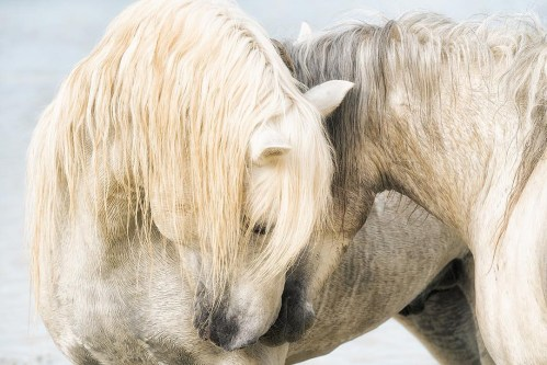 Tender moment among Horses of the Camargue.