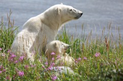 Polar bear mom and cub at Seal River Heritage Lodge. Allison Francoeur photo.