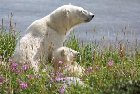 Polar bear mom and cub at Seal River Heritage Lodge. Allison Francoeur photo.