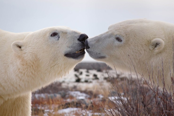 Polar bears conversing at Seal River Heritage Lodge. Daniel D'Auria photo.