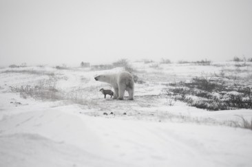 Polar bear and Arctic fox facing a storm at Seal River Heritage Lodge. Birgit-Cathrin Duval photo.