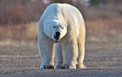 polar-bear-growling-Nanuk-Polar-Bear-Lodge-Ian-Johnson