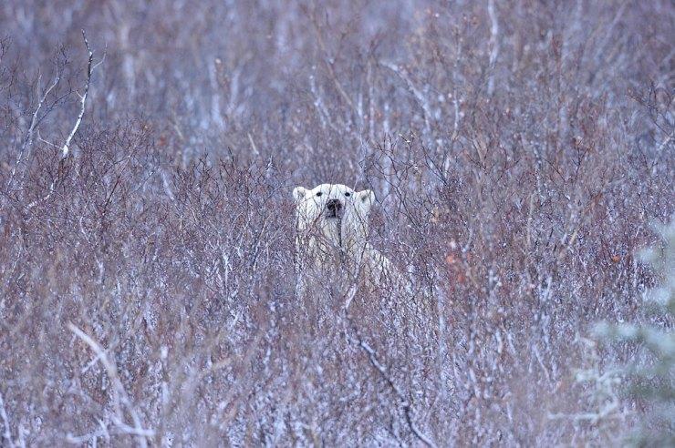 Polar bear in the willows. Ian Johnson photo.