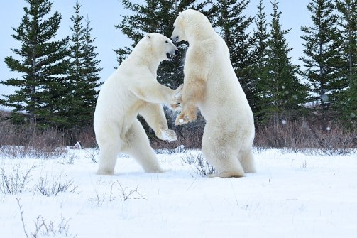 Polar bears sparring at Dymond Lake Ecolodge. Ian Johnson photo.