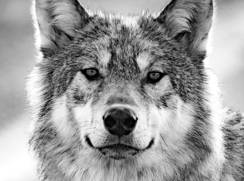 wolf-Nanuk-Polar-Bear-Lodge-Cheryl-Hnatiuk