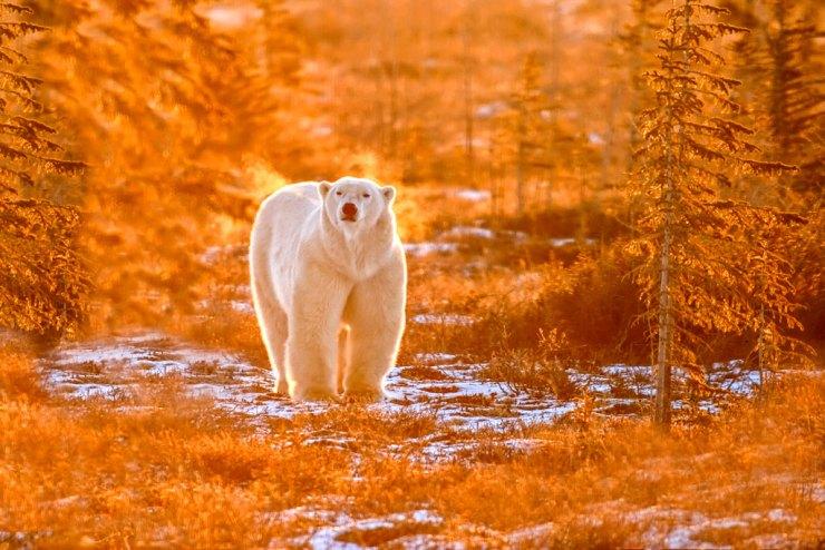 Polar bear in fall colours. Dymond Lake Ecolodge. Dennis Fast photo.