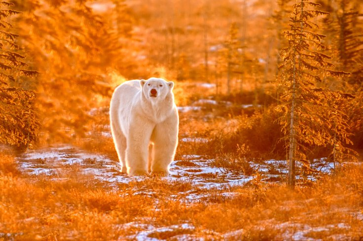 Polar bear in fall colours. Dymond Lake Ecolodge. Great Ice Bear Adventure. Churchill Wild. Dennis Fast photo.