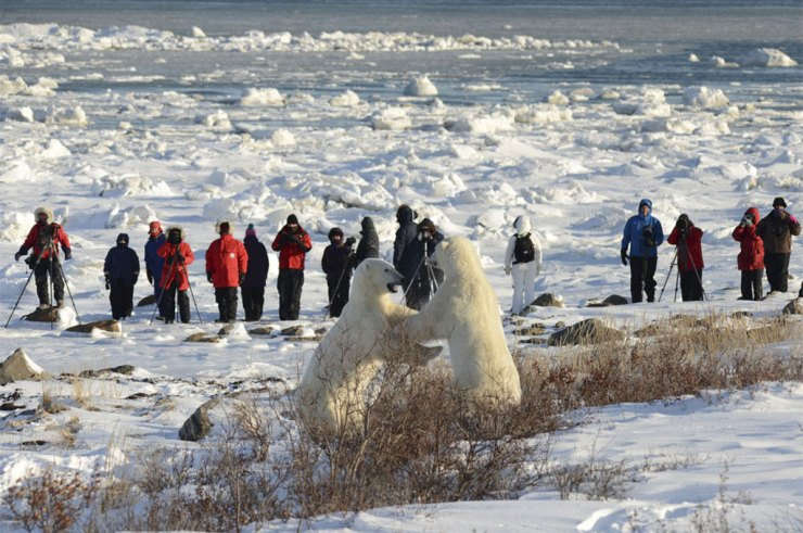 Polar bears sparring at Seal River Heritage Lodge. Bill Lyne photo.