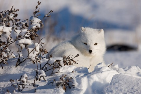 Arctic fox at Churchill Wild's Dymond Lake Ecolodge. Michael Poliza photo.