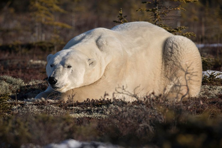The King of the Arctic at Dymond Lake Ecolodge. Robert Postma photo.