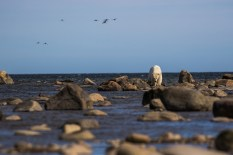 polar-bear-churchill-wild-seal-river-heritage-lodge-henrik-egede-lassen