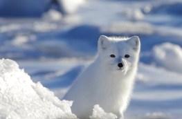 Arctic fox at Seal River Heritage Lodge. Elizabeth Coates photo.
