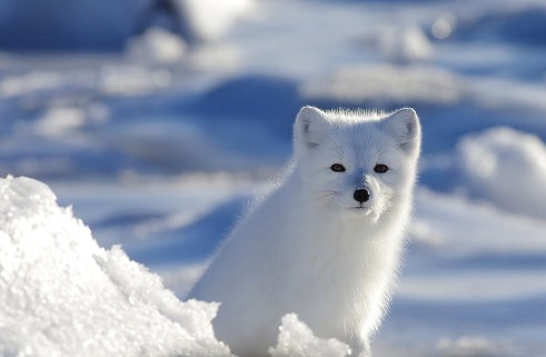 Arctic fox at Seal River Heritage Lodge. Elizabeth Coates photo.