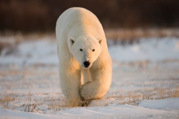 polar-bear-churchill-wild-nanuk-polar-bear-lodge-zuopeng-wang