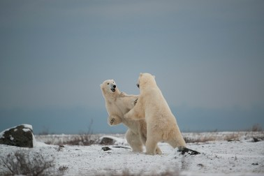 Polar bears sparring at Seal River. Arturo Spajani photo.