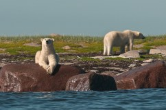 Polar bears on the shore at Seal River. Dennis Fast photo.