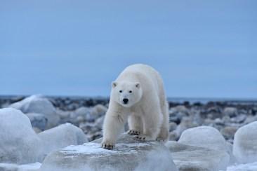Polar bear staring at us at Seal River. Ian Johnson photo.