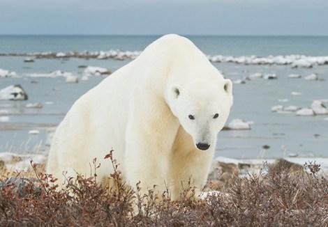 Big polar bear gazes at us at Seal River. Larry Kinney photo.